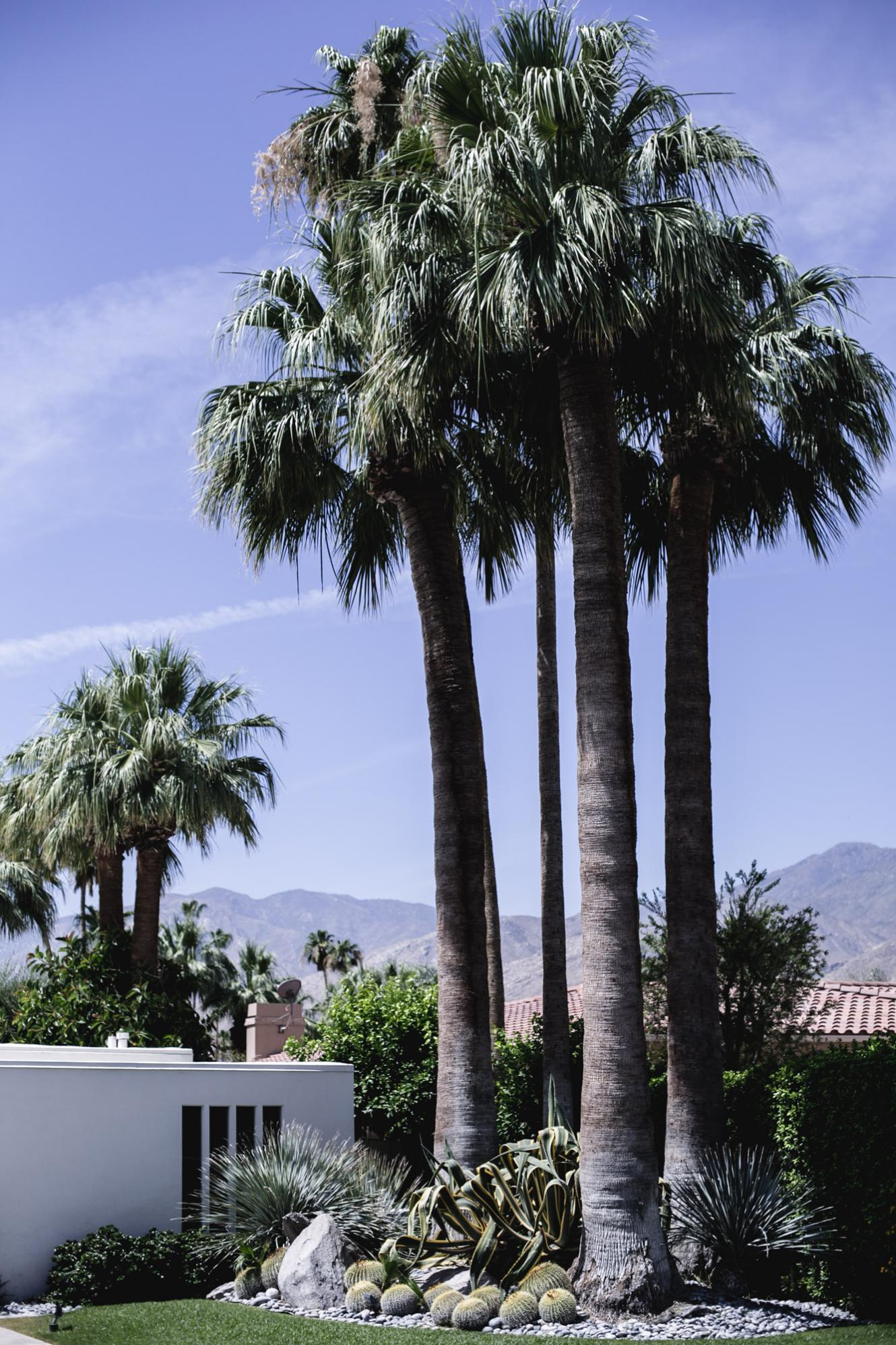 Palm Springs California, palm trees